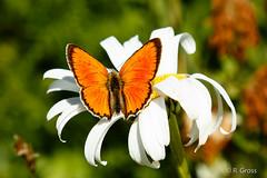 Schmetterling 113 (rgr_944) Tags: macro butterfly tiere natur pflanzen blumen papillon insekten schmetterling canoneos60dcanoneos70d rgr944