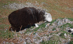Another Shunday Another Sheep (Mike Serigrapher) Tags: lake sheep district cumbria pike ewe herdwick oblisco