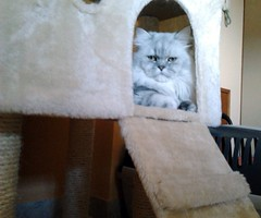 Persian cat in your castle (romeosilverpersian) Tags: cats persiancats scratchingpost silvertabby longhaircats tiragraffi silvershaded silvercats catbreed gattipersiani gattigrigi chinchillacats gattichinchilla gattiargentati