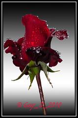 Rose rouge (Guy_D_2010) Tags: flower fleur rose nikon flor pluie blumen blomma quintaflower bunga  fiore blomst gul virg hoa bloem lill blm iek  kwiat blodyn   lule kukka d90 gouttedeau   cvijet  blth cvet  zieds  gl kvtina kvetina floare vaural  languageofflowers   fjura   nikoniste pixelistes nikonfrance flowersarefabulous wonderfulworldofflowers  voninkazo