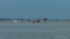 Flamingos (marthahari) Tags: mxico mar agua paisaje ave pjaro holbox yuca ocano parquenacional airelibre surestemexicano