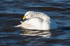 Whooper swan preening (David R Owen) Tags: birds swan nikon norfolk trust f4 wwt wetland wildfowl welney whooper cygnuscygnus 600mm d810