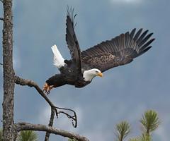 Here I Go Again (ken.helal) Tags: eagle