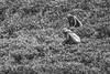 Among The Leaves #1 (BoXed_FisH) Tags: travel people blackandwhite bw monochrome work mono workers asia zoom tea sony monotone plantation tele srilanka teaplantation nuwaraeliya centralprovince teapicking sal70300g sonya7