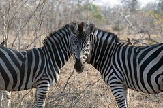 Optical illusion (Fil.ippo) Tags: animal southafrica wildlife zebra savannah opticalillusion filippo krugernationalpark skukuza sudafrica sooc d5000 filippobianchi