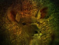 Namibia's Beauty:  51.  Young kudu (ronmcbride66) Tags: namibia namibiasbeauty kudu texturing youngkudu