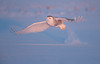 Snowy-Owl (Corey Hayes) Tags: owl snowy evening light sunset winter raptor sun wow