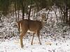Snow Day!! (Lisa Zins) Tags: lisazins tn tennessee deer whitetaileddeer whitetailedfawns fawn 2017 snow animals tennesseedeer tongue