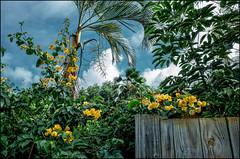 Fleur de Jeanne (Patricia Colleen) Tags: bougainvillea maui hawaii tropicalplants