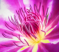 Clematis (JudyNanaimo) Tags: flower clematis digitalart flora colour pink