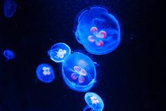 Dans les profondeurs des océans (StephanExposE) Tags: japon japan asia asie kyoto kyotoaquarium aquarium méduse eau water animal animals bleu rouge canon 600d 1635mm 1635mmf28liiusm stephanexpose medusa