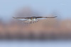 American Kestrel - Female (Mike Veltri) Tags: naturephotography flight birds falcons avian wild ontairo canada 600mm wow brilliant
