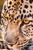 Sharp eyes. (Nona P.) Tags: afriquedusud southafrica photography nonap canon léopard eyes animal wild