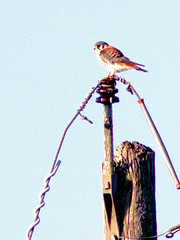 American Kestrel 20170122 (Kenneth Cole Schneider) Tags: florida miramar westbrowardwca
