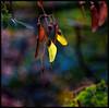 Gone to seed... (Mike Goldberg) Tags: melia izdarechet tree shade seedpods winter nikond5300 settings effects mikegoldberg