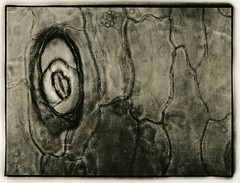 ° (polyphren) Tags: lith lithprint microscope spaltöffnung stoma crassulaovata se5lith orwopaper digitalnegative