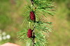 Larix laricina-14 (Tree Library) Tags: tamarack larixlaricina