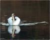 SWAN ARKLOW DUCK POND DEC 2016 (philipmaeve12) Tags: select swans arklow birds wildlife