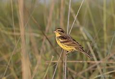 Yellow-breasted bunting (sahaavijan88) Tags: yellow breasted bunting near threatened species birdphotography birding