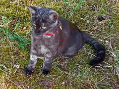 3260055 Junge Katze Louis vom Nachbar  auf Besuch. Young cat Louis from neighbor on visit. (Fotomouse) Tags: fotomouse margrit flickr katze cat nachbarskazelouis schwarz black outdoor draussen tier tiere animals animal jungtier