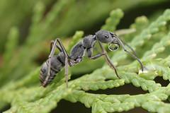 IMG_4633 Fingerprint pattern ant. (omtelsimon) Tags: formicidae ant