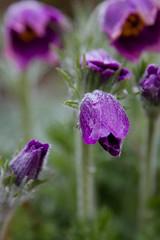 IMG_3136.jpg (Ivo Konopac AE) Tags: 2011 beskydy flickr kvety ostravice plant rostlina velikonoce vylet