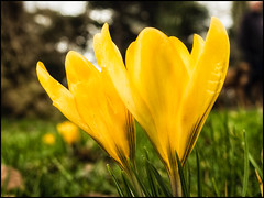 2017-037 First Sign of Spring (Darren Wilkin) Tags: oneaday spring 365 macro flower crocus yellow