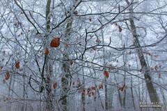 Nature Figée (CH-Romain) Tags: hiver snow neige winter france foret arbre tree feuille nature morte brume brouillard gele chemin paysage landscape voie glace flocon