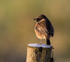 Stonechat (m) (Gary McHale) Tags: stonechat male rspb old moor