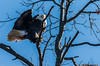 Eagles 1.1.2017 (alan.forshee) Tags: birds flight eagles bald trumpeter swans feathers flying launch land prey predator fish sky water fowl