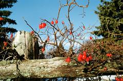 Bright Berries (Georgie_grrl) Tags: christmascottagechoir choir friends friendship social music princeedwardcounty lakeontario winter pentaxk1000 rikenon12828mm red berries bright icy fence colourful cheery
