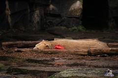 Tierpark Berlin 26.12.2017 001 (Fruehlingsstern) Tags: eisbär polarbear wolodja rothund nashorn stachelschwein tierparkberlin canoneos750 tamron16300
