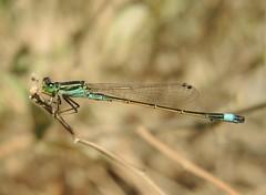 Desert Bluetail (Ischnura evansii) Male (Rezamink) Tags: ischnuraevansi desertbluetail evansbluetail odonata uae dragonflies ischnuraevansii
