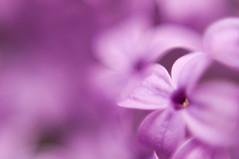 _DSC1295 (KateSi) Tags: plants plant flowers fleurs flores flower flor fleur blomst blomster macro flora purple violet morado lilla lilac lilacs petal petals upclose nikon nikond90 depthoffield