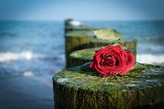 Happy Valentinsday !! (Rainer D) Tags: 2017 kühlungsborn mecklenburgvorpommern deutschland rose wedding light balticsea lostrose melancholic red rediswonderful