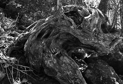 The 8th Passenger (Ren-s) Tags: blackandwhite tree arbre racine roots écorce bark contrast forest forêt réunion island france indian ocean océanindien abstract abstrait forme shapes vegetal nature alien bois wood