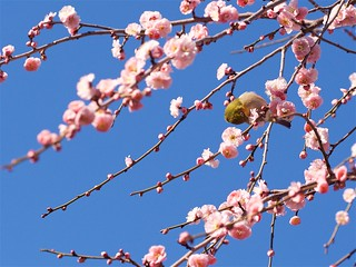 シダレウメにメジロ Japanese white‐eye on a weeping plum.