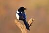 Gazza ladra (Pica pica) (Mascamit) Tags: gazza ladra picapica bassanoromano viterbo lazio natura uccello uccelli
