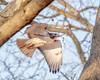 T4 (wn_j) Tags: birds birding birdsofprey birdsinflight nature naturephotography wildlife wildanimals redtailhawk raptors raptor franklinhawks franklinhawk