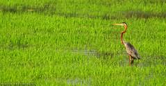 The purple heron (Ardea purpurea) (Babish VB) Tags: paddy bird heron purpleheron kerala alleppey alappuzha kuttanadu pulincunnu theindiatree india indiabirds birdsofindia birdsofkerala nature birds