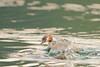 2 Futen / Rotselaar Belgie (Jul Pitbull) Tags: fuut kuikens bootjegopro bootjeafstandbediening ganzen vliegendeeenden