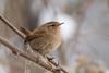 Scricciolo - Wren (Attilio Piselli) Tags: bird avifauna scricciolo troglodytestroglodytes wren santalbanostura oasilamadonnina wildlife