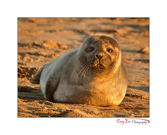 Golden Babe_L7Q9628 (The Terry Eve Archive) Tags: seal baby babyseal forviesands newburgh riverythan ythan estuary