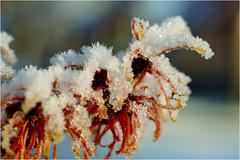 hamamelis.......... (atsjebosma) Tags: hamamelisintermedia toverhazelaar winter snow sneeuw macro january atsjebosma 2017 garden tuin groningen thenetherlands nederland flower bloem