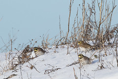 Horned lark on a snow. (Eremophila alpestris) (Sirke Vaarma) Tags: hornedlark tunturikiuru snow lumi winter talvi bird lintu