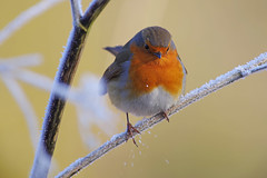 Winter Robin 2 (Hugobian) Tags: hmwt amwell nature reserve winter frost pentax k1 cold robin bird birds british fauna wildlife animal