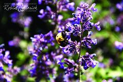 _MG_7884RMH 12.1 CMYK WebsiteRGB (creationartistcoPHOTO) Tags: bee animal purple bumblebee flower macro wing flight fly fuzzy