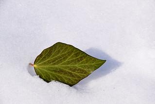 usamljeni list / the solitary leaf