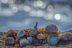 27 gennaio 2017. Una giornata al mare (adrianaaprati) Tags: mare sea shell conchiglia coquille schale bokeh mer meer calma allaperto acqua water blur