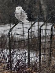 Harfang des neiges --- Snowy owl --- Búho del Ártico (Jacques Sauvé) Tags: harfang des neiges snowy owl búho del ártico